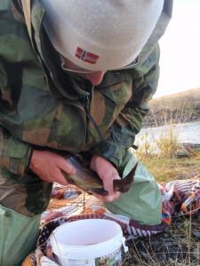 """""""Stryking"""" av fisk fra stamfisket i Inna."""