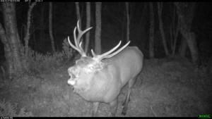 Hos hjorten er andelen store bukker («haremsbukker») viktig for bestandsutviklingen i et område.