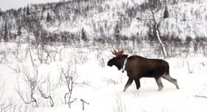 50 elger får GPS- merkebånd i Sær- Trøndelag i vinter. Foto © Øystein Os og Christer Rolandsen/NINA